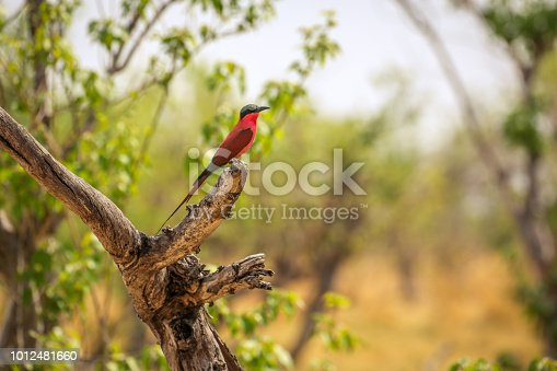 Botswana, Africa, Carmine Bee-Eater, Beak, Beauty