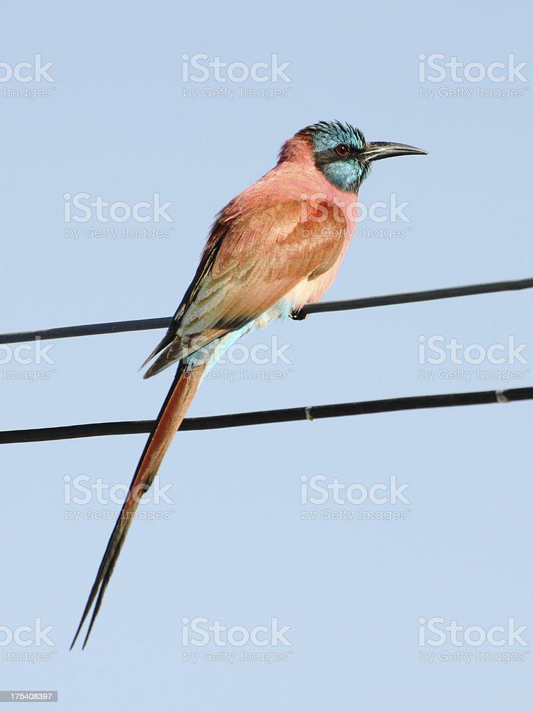 Northern Carmine Bee-Eater, Somalia stock photo