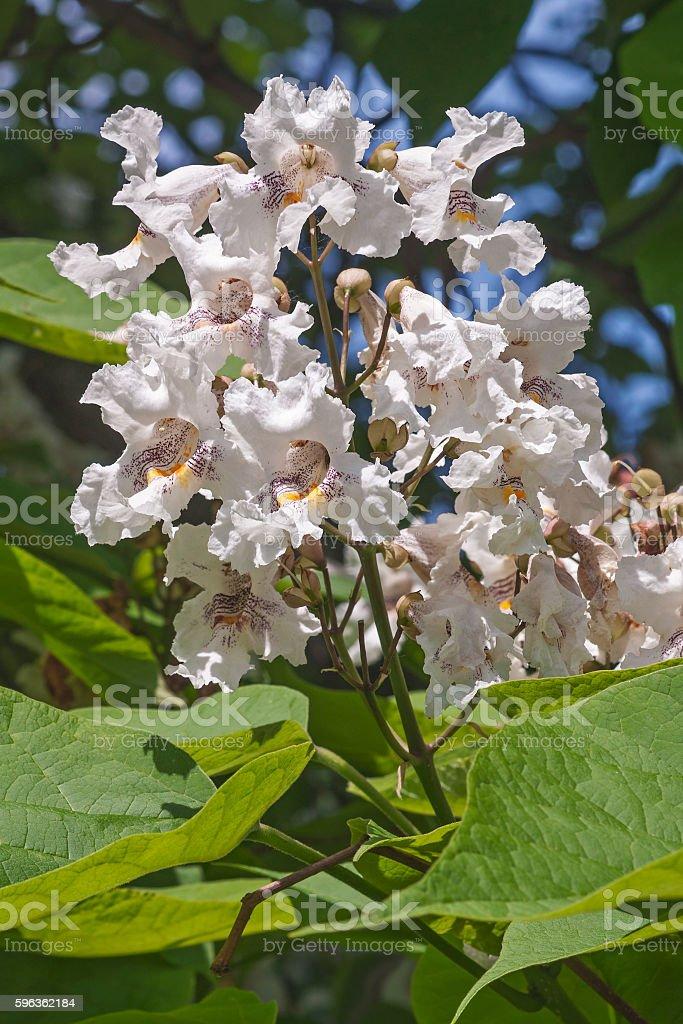 Northern catalpa flowers royalty-free stock photo