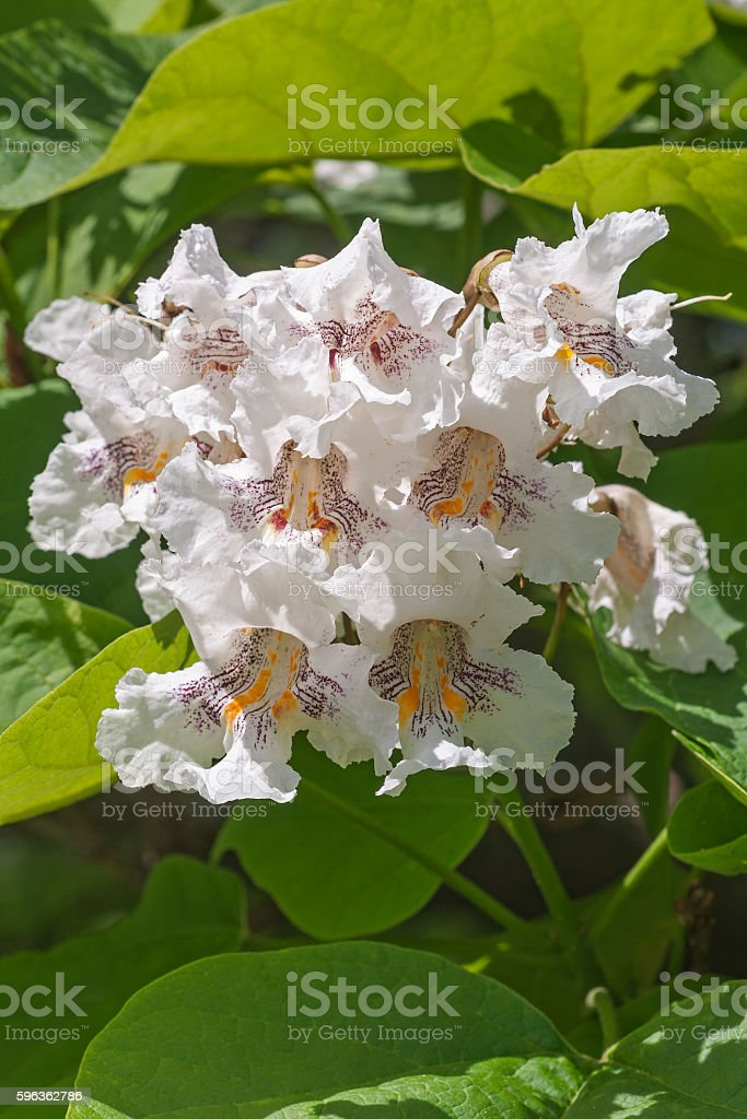 Northern catalpa flowers royalty-free stock photo