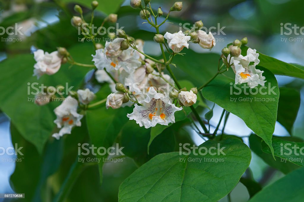 Northern catalpa flowers stock photo