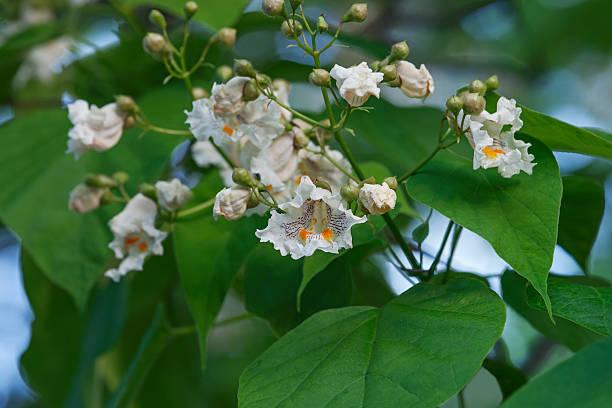 northern catalpa flowers - trompetenbaum stock-fotos und bilder