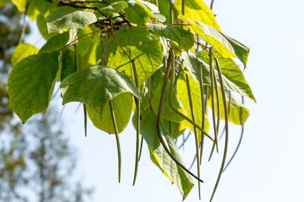 nördlichen catalpa (catalpa speciosa) samen reifen auf einem ast - trompetenbaum stock-fotos und bilder