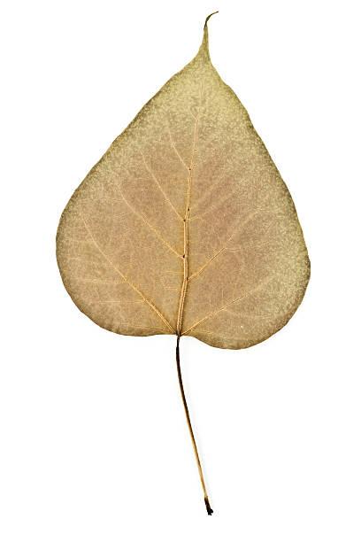 northern catalpa-speciosa rückseite leaf - trompetenbaum stock-fotos und bilder
