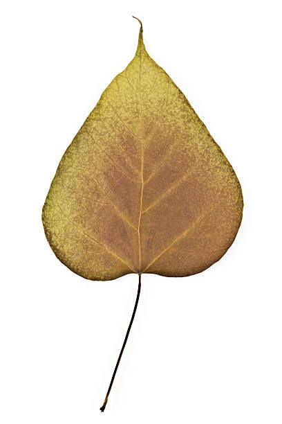 northern catalpa-speciosa - trompetenbaum stock-fotos und bilder