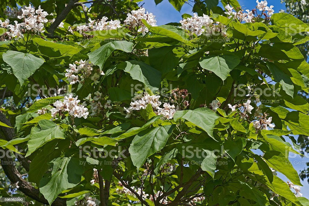 Northern catalpa tree in blossom stock photo