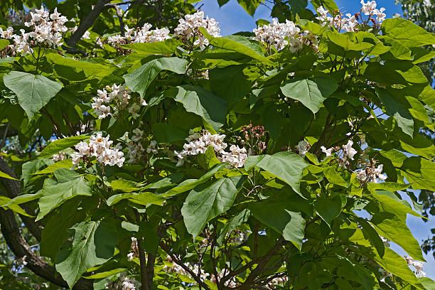 northern catalpa tree in blossom - trompetenbaum stock-fotos und bilder