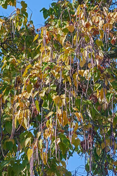 northern catalpa tree with fruits - trompetenbaum stock-fotos und bilder