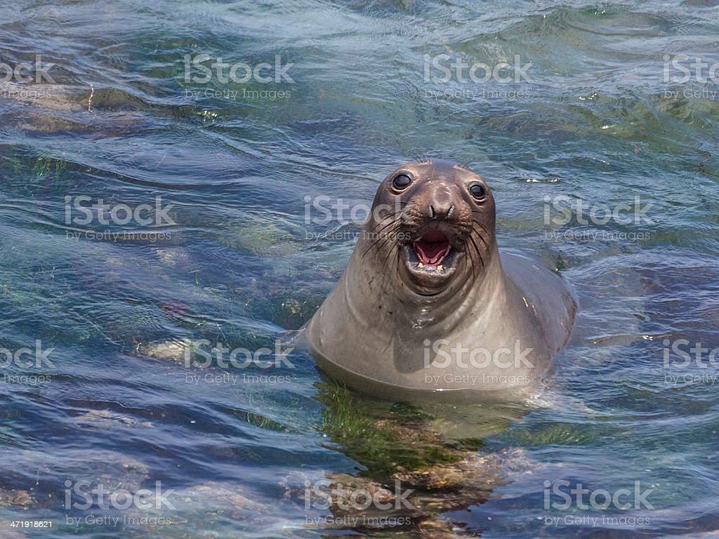 Northern Elephant Seal pup (Mirounga anguistirostris) stock photo
