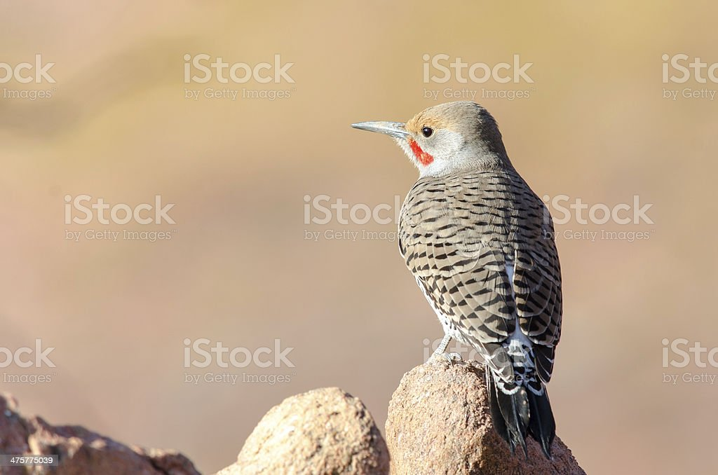 Northern Flicker (Colaptes auratus) stock photo