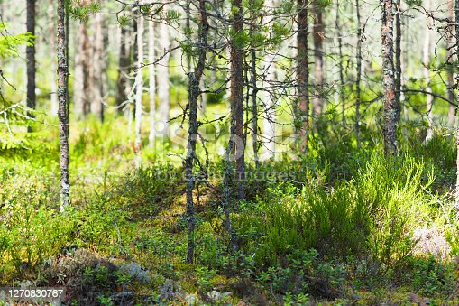 Northern forest landscape, coniferous forest, heather, moss and lingonberry