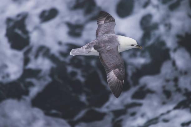 Oiseau de Fulmars boréaux sur en mer - Photo