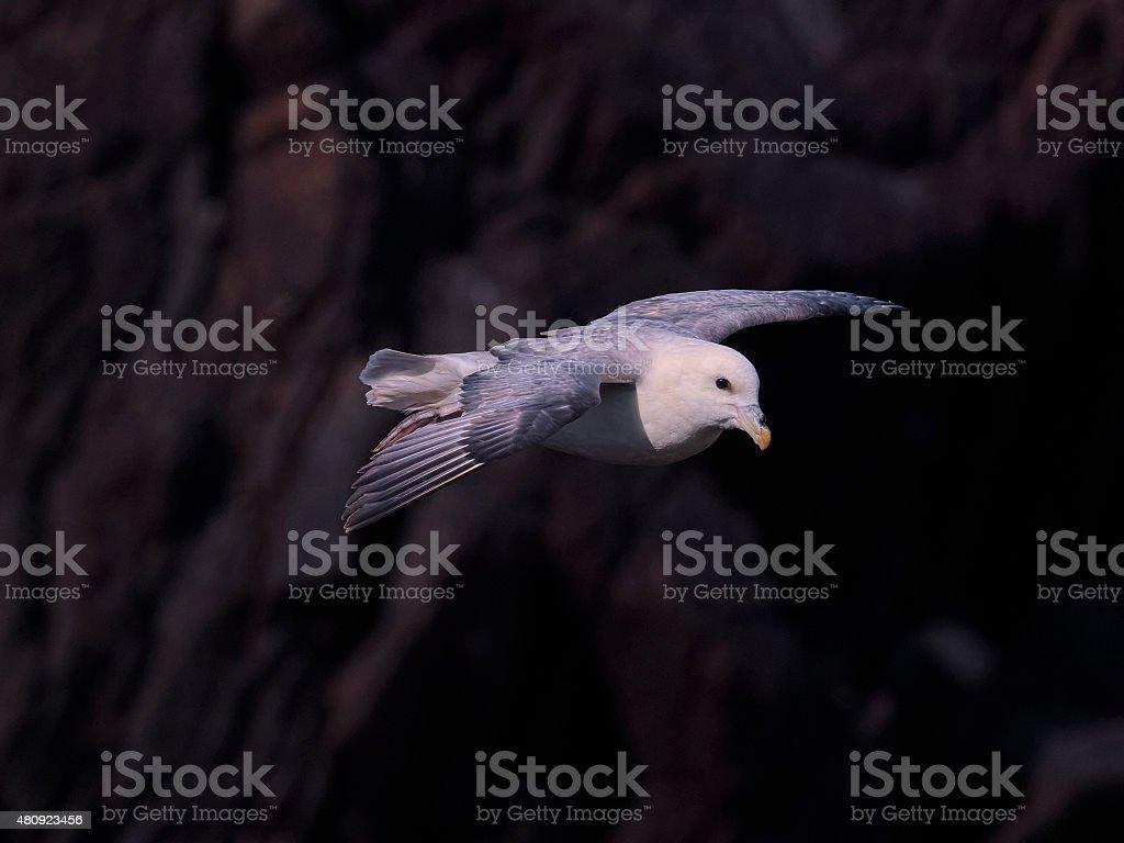 Northern Fulmar in flight over Skokholm Island cliffs 3 stock photo