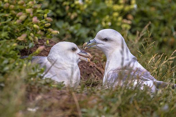 Northern fulmar  pair - Photo