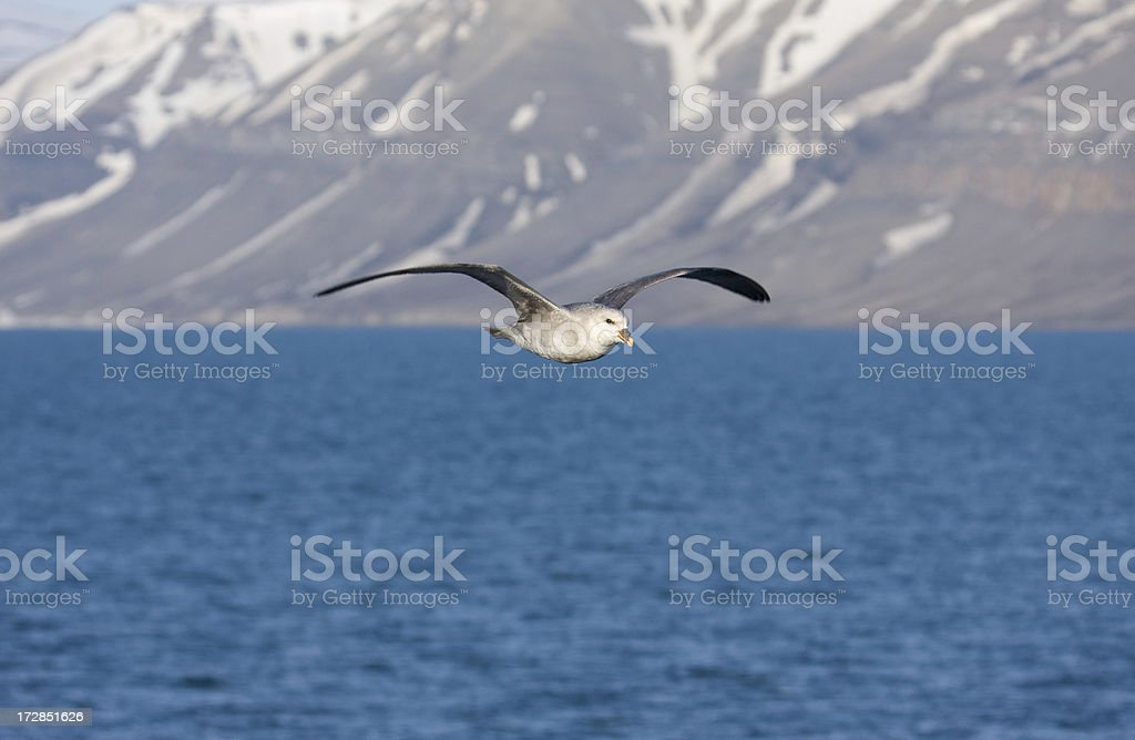Northern Fulmar royalty-free stock photo