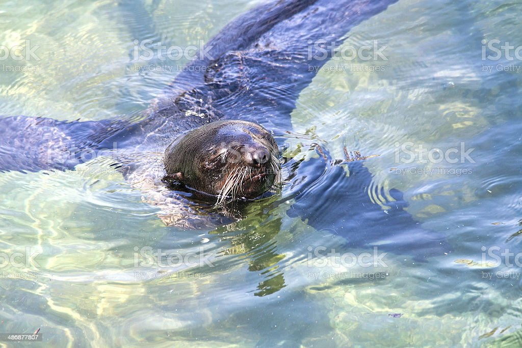 Northern fur seal royalty-free stock photo