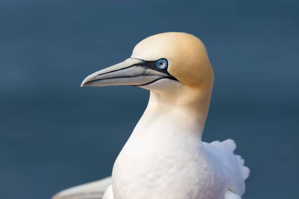 noordelijke gannet op het duitse eiland helgoland - northern gannet stockfoto's en -beelden