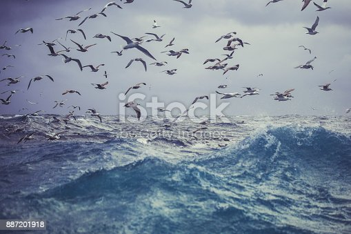 Northern gannet bird: feeding frenzy behavior. The birds stand nearby a fishing net and dive continuously to steal fish.