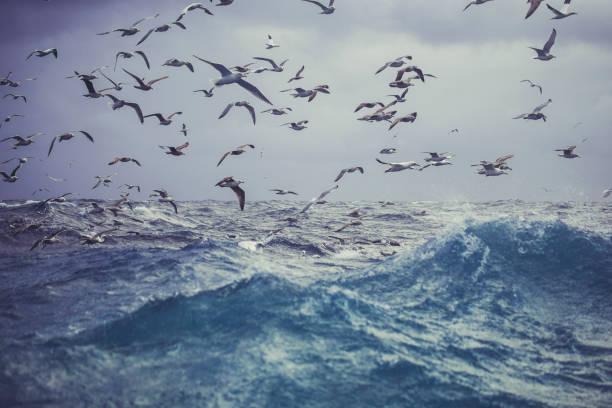 noordelijke genten vogel: feeding frenzy gedrag - northern gannet stockfoto's en -beelden