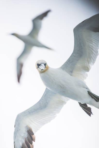 noordelijke genten vogel uit op zee - northern gannet stockfoto's en -beelden