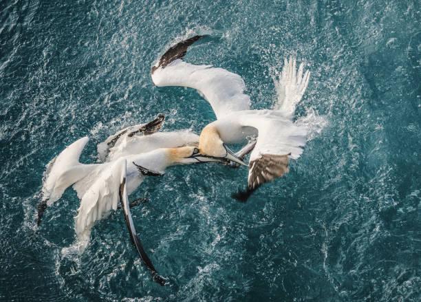 noordelijke gannet vogel: survival of the fittest - northern gannet stockfoto's en -beelden