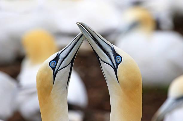 northern gannet colony - newfoundland - northern gannet stockfoto's en -beelden