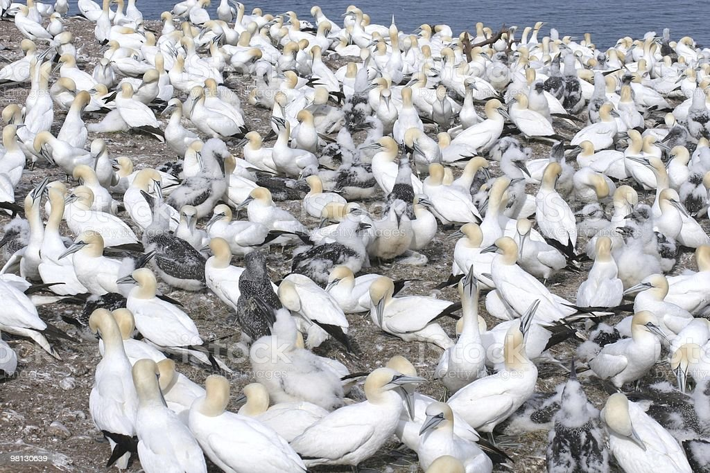 Northern gannet colony on Bonaventure Island, Quebec, Kanada royalty-free stock photo