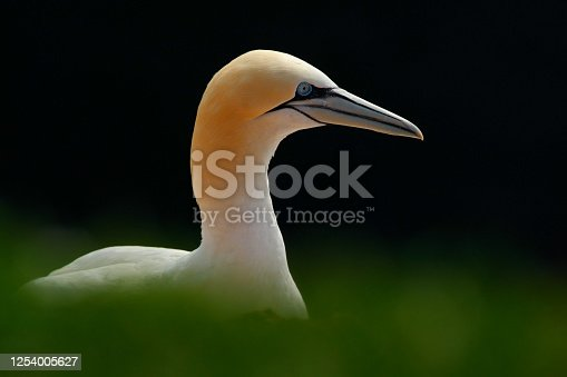 istock Northern gannet, detail head portrait of sea bird, sitting on the nest, with dark blue sea water in the background, Helgoland island, Germany 1254005627