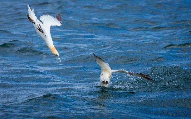 noord-gannet-duiken - northern gannet stockfoto's en -beelden