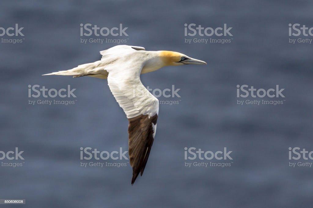 Northern gannet in flight against marine background stock photo