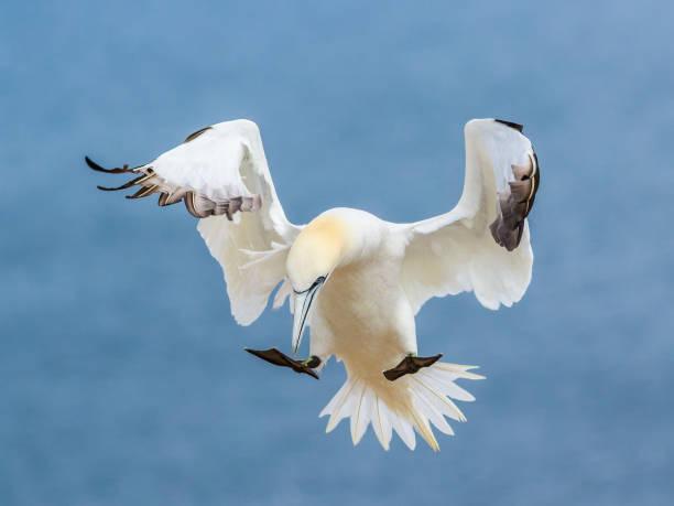 noordelijke genten in vlucht - northern gannet stockfoto's en -beelden