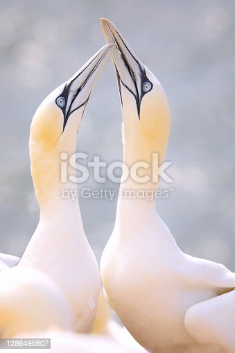 istock Northern Gannet pair is welcome 1286495807