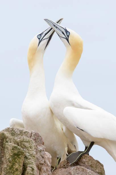 noordelijke gannet (morus morus) - northern gannet stockfoto's en -beelden