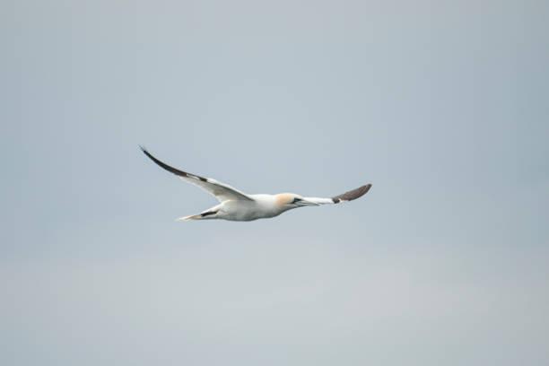 noordelijke gannet - northern gannet stockfoto's en -beelden