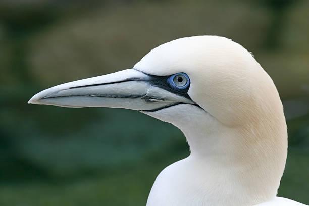 northern gannet (sula bassana) - northern gannet stockfoto's en -beelden