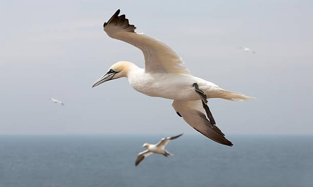 northern gannet (morus bassanus) - northern gannet stockfoto's en -beelden