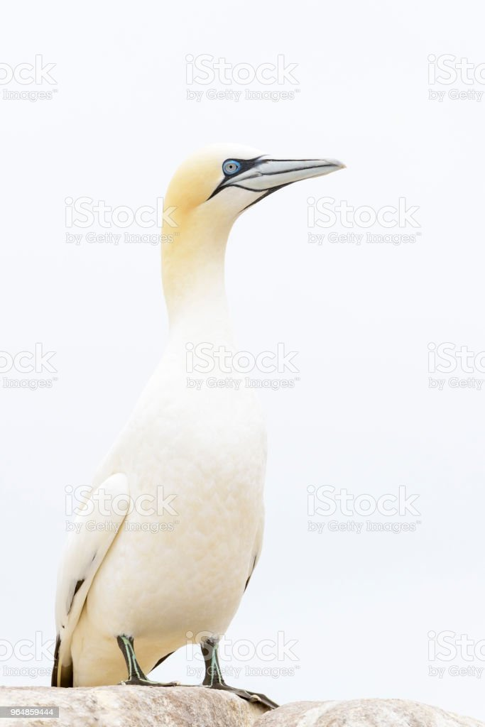Northern Gannet (Morus bassanus) royalty-free stock photo