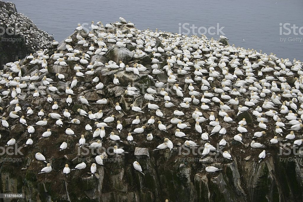 Northern Gannet rookery at Cape St. Mary's, Newfoundland. stock photo