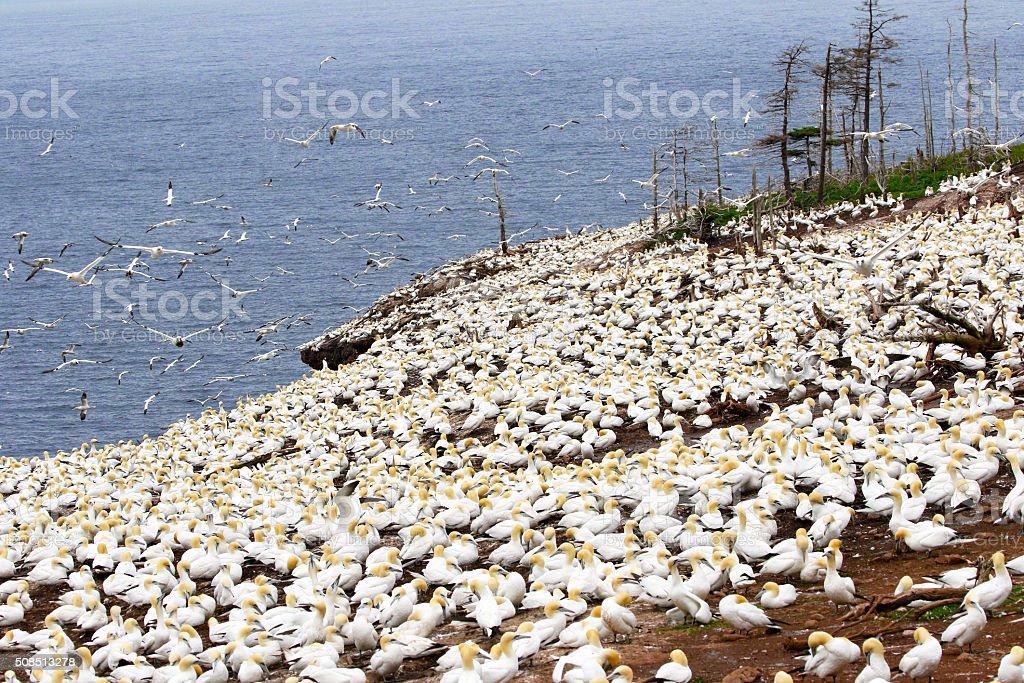 Northern Gannet Seabird Colony - Quebec, Canada stock photo