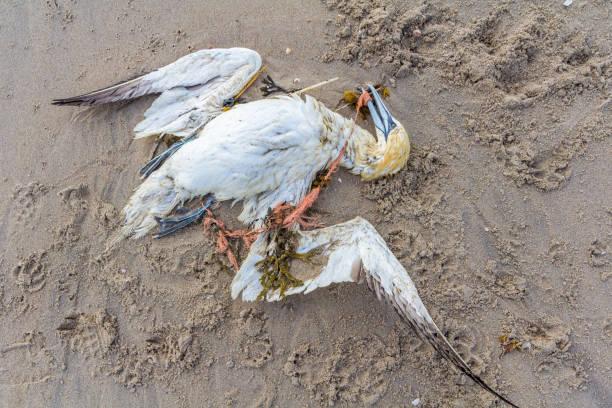 northern gannet trapped in plastic fishing net - uccello marino foto e immagini stock