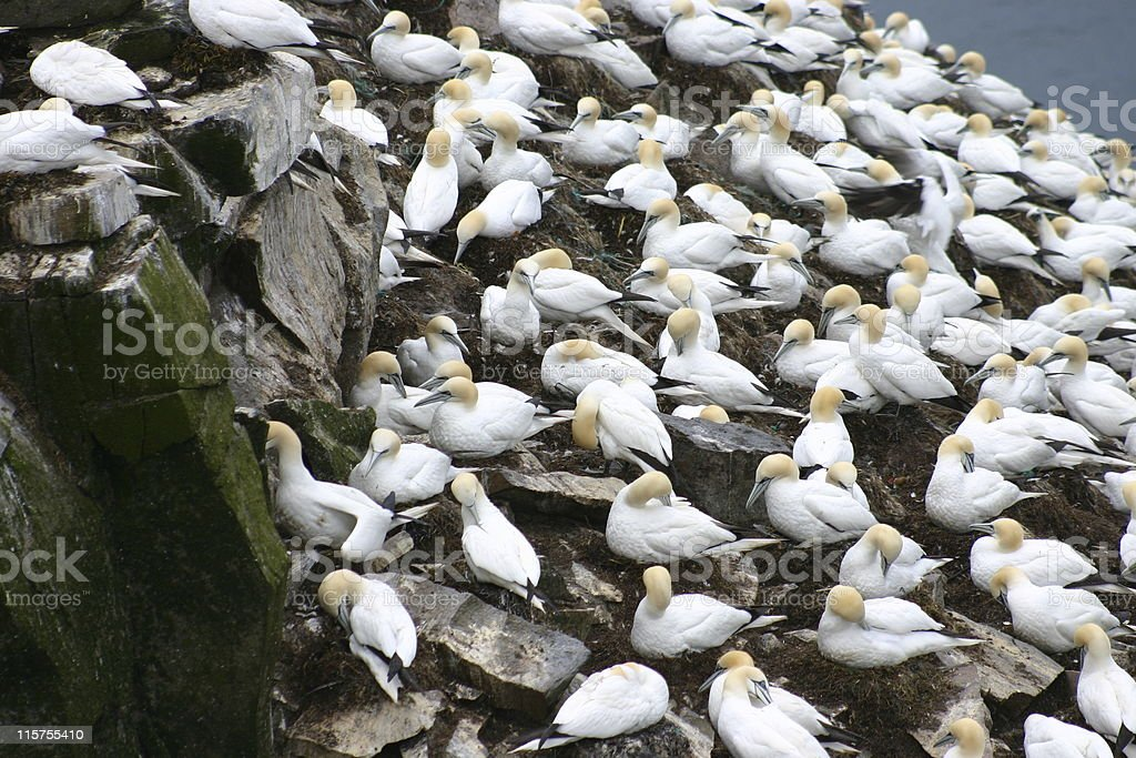 Northern Gannets at Cape St. Mary's, Newfoundland. stock photo
