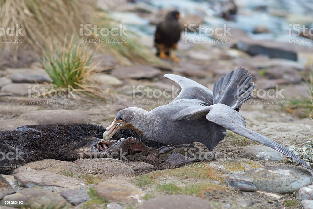 Northern Great Petrel stock photo