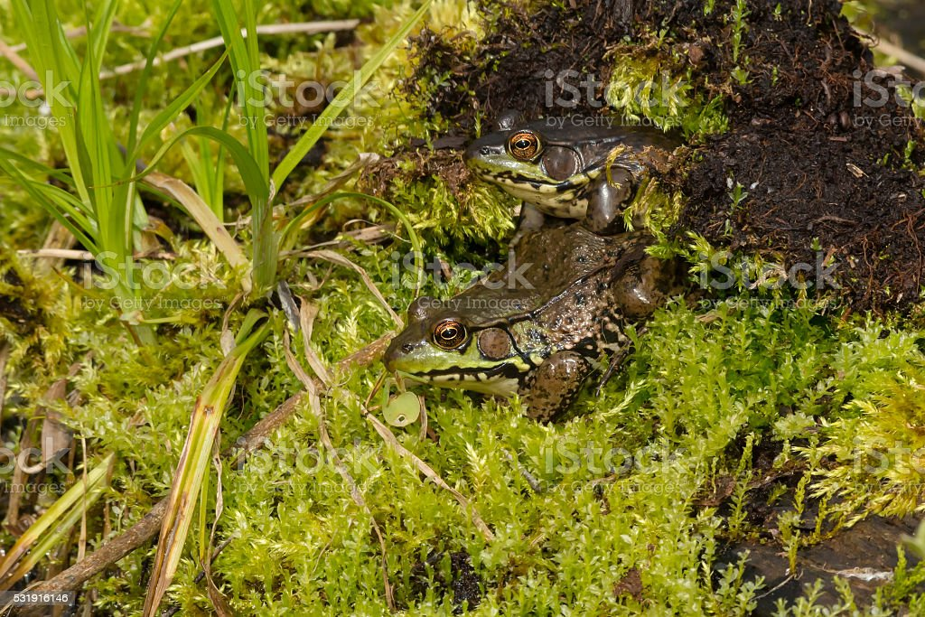 Northern Green Frog stock photo