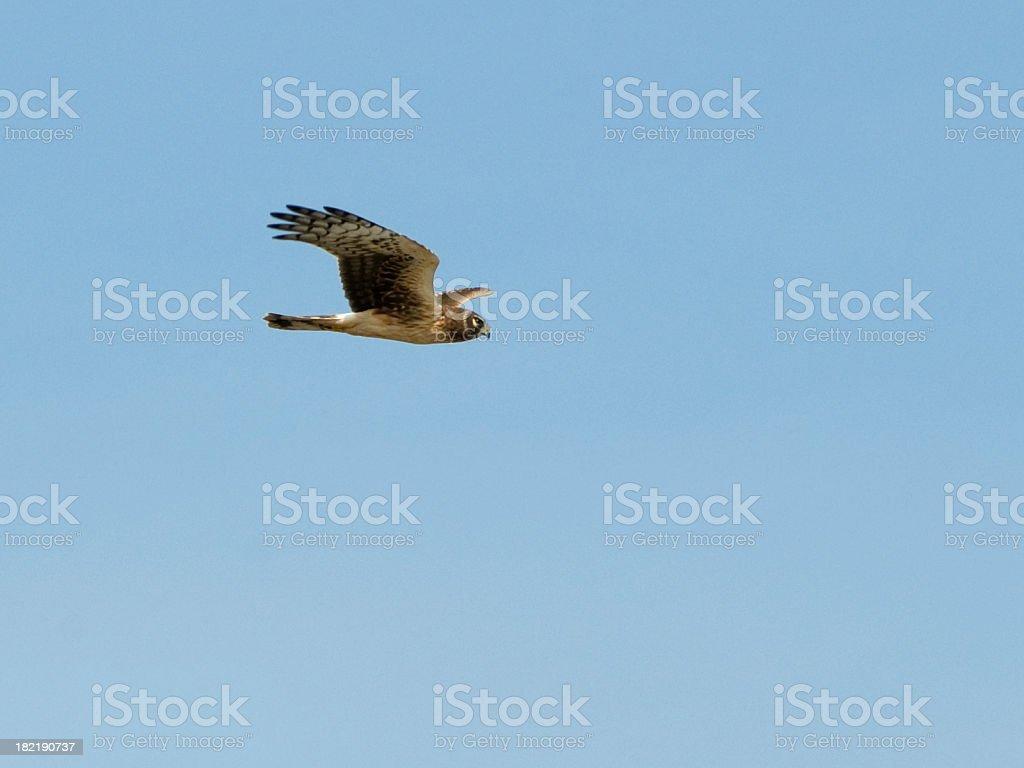 northern harrier, Circus cyaneus, in flight stock photo