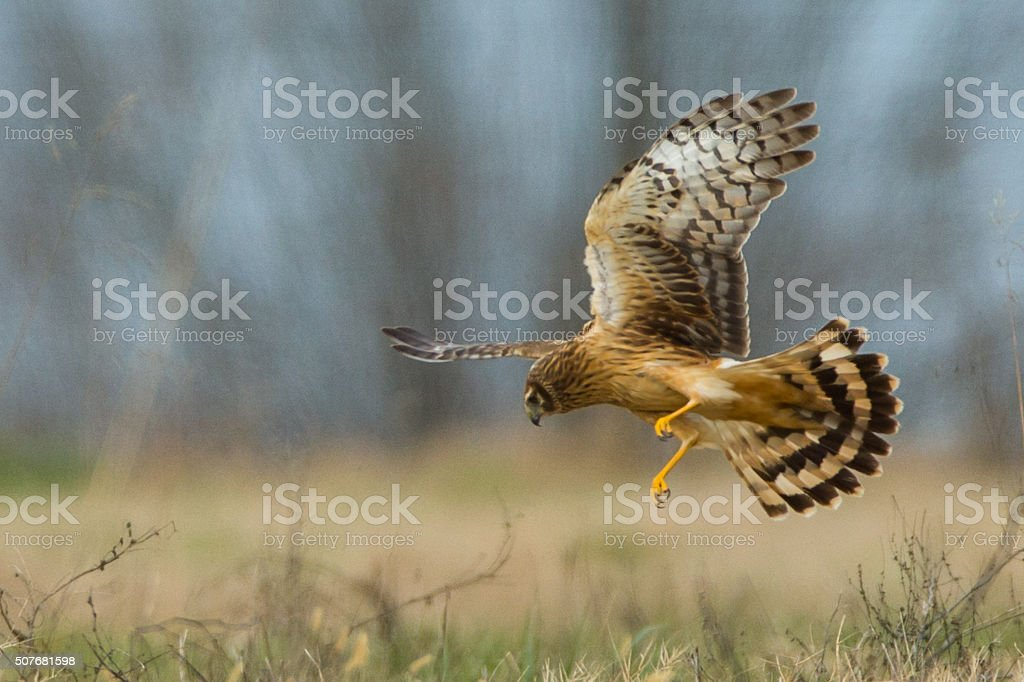 Northern Harrier Hawk going for the kill stock photo