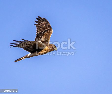 istock Northern harrier hawk in flight against blue sky 1208607912