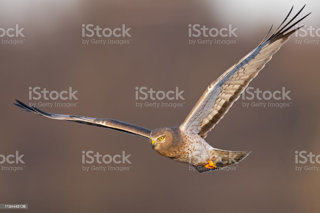 Northern Harrier Hawk Male aka Gray Ghose in Flight stock photo