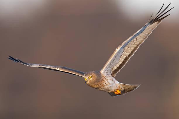 Northern Harrier Hawk Male aka Gray Ghose in Flight stock photo