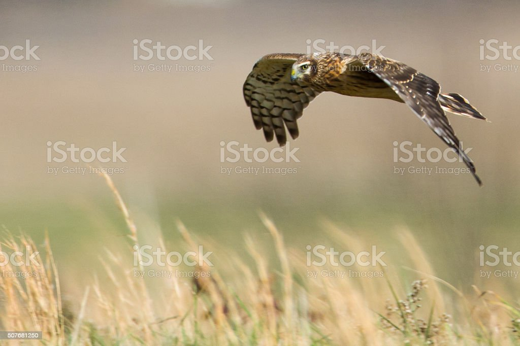 Northern Harrier Hawk Skimming the Fields stock photo