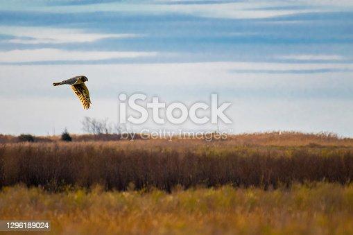 istock Northern harrier in flight 1296189024